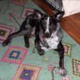 I adopted Gunner (formerly Zeke) in April 2018. He has been a joy and I am so glad he found us! He gets along well with our 8 year old Border Collie-he has brought new life and a rediscovery of […]
