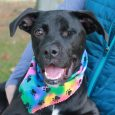 We could have taken pictures of Bentley all day long! This super-cute, spunky and alert 8 month-old Boxer/Lab mix male with the adorable underbite is overflowing with enthusiasm and personality and it shows in his photos. Bentley was born with […]