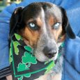 Bronson is a 3 year-old Cattledog/Husky/Beagle mix (or at least that's our best guess!) with sparkling blue eyes and a desire to avoid cameras! Although this boy is as sweet as can be, he wanted nothing to do with the […]
