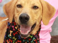 Looking for an active young dog who loves to have fun? That's our Delta, a 1 year-old Lab/Mountain Cur mix spayed female with a bobtail who loves everyone and everything. She was adopted from a shelter but recently returned as […]