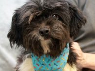 Dizzy is a lively 6 year-old Shih Tzu/Poodle mix male whose photos were taken before he visited the groomer so he looks more like a little dustmop than a dog. This little guy was turned into an overcrowded county dog […]