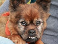 If you're looking for a calm, gentle, and quiet canine companion, then you will want to meet our Elmer! We are head over heels in love with this boy with the charming underbite. Elmer came into an overcrowded county dog […]