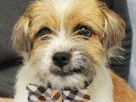 Ernie is a super-cute 3 year-old Terrier mix male with an adorable underbite suggesting there might be something like Shih Tzu in his family tree. He was found as a stray along with Henry, who we think is his brother, […]