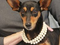 Meet Gidget, a super-nice 8 year-old Miniature Pinscher/Chihuahua mix female with really impressive ears. This lovely little lady was an owner surrender at an overcrowded county dog shelter. We don't know what circumstances led her to lose her home but […]