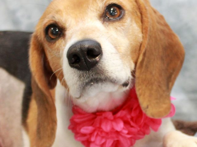 Calling all Beagle fans! You're going to love our Golda. This super-sweet girl is about 6 years-old and came to us from an overcrowded county dog shelter. The shelter vet noted that she had an orange-sized lump on her side […]