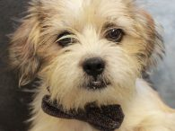Henry is an absolutely adorable 3 year-old Terrier mix male who has a little bit of an underbite suggesting there might be something like Shih Tzu in the mix too. He was found as a stray along with Ernie who […]