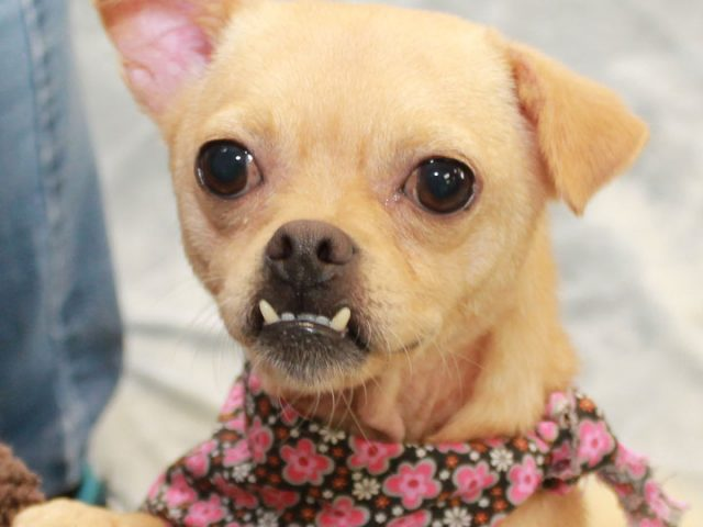 Now isn't this the most irresistible face?!? This cute little mug belongs to Lollipop, a 3 year-old Pug/Chihuahua mix female with a charming underbite and curly tail. She was found as a stray in poor condition and taken to the […]