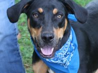 Meet Lucas, a very handsome 1 year-old Lab/Hound/Rottie mix neutered male with a fantastic demeanor. He was surrendered to an overcrowded county dog shelter by his owner who could no longer care for him. We don't know what circumstances […]