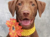 Looking for an outstanding puppy? That's our Queenie, a 4-5 month-old Chocolate Lab mix female who has impressed us from the moment we met her. This sweet girl was an owner surrender at an overcrowded county dog shelter. We don't […]
