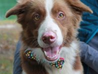 This gorgeous boy is a 2 year-old Aussie mix male with a beautiful milk chocolate and white coat. He has a very friendly disposition to go with his good looks and is just an all-around great dog. Raleigh was surrendered […]