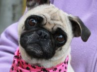 Meet Bebe, an adorable 4 year-old Pug who's kind, gentle, and very affectionate. She was an owner surrender at an overcrowded county dog shelter with another small dog and both came to us so they would have time to relax […]