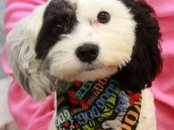 Chase is a super-cute 1 year-old Poodle/Cavalier King Charles Spaniel mix neutered male who ended up in an overcrowded rural county dog shelter after he was busted for chasing goats. He must have fancied himself a herding dog but his […]