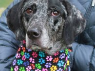 This beauty is Glory, a 4 year-old Catahoula/Lab mix spayed female who has a slim build and beautiful markings. She was surrendered to an overcrowded rural county dog shelter by her owners who could no longer keep her. We don't […]