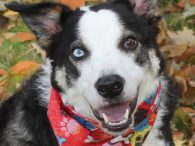Looking for the perfect dog? Take a look at Jax. This phenomenal dog was unfortunately surrendered to an overcrowded county dog shelter by his owner who had to move in with family and couldn't bring Jax with him. Jax is […]
