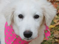 Maya is an adorable 5 month-old Great Pyrenees pup who came to us from an overcrowded county dog shelter as a stray. We don't have any history on her previous life before entering the shelter but she has been a […]