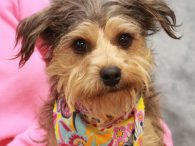 Muffin is a 10 month-old little dynamo who looks to be a mix of Yorkie and Schnauzer—or at least that's our best guess. This little girl was found as a stray along with her pal Meg and both came to […]