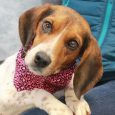 Sadie is an adorable 4 year-old Beagle girl who's had a rough time recently but now that she's with Canine Lifeline her luck has changed and she's on the mend. This little lady came into an overcrowded rural county dog […]