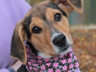 Scarlet is a very friendly and outgoing 4.5 month-old Shepherd/Hound mix female with really long legs and tail. She found herself homeless at an overcrowded county dog shelter so made the trip to Canine Lifeline so she would have more […]
