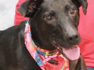 Shadow is a sweet and friendly 9 year-old Black Lab mix female whose whole world has been turned upside down in the last couple of months. Her owner died unexpectedly and no one in the family was able to take […]