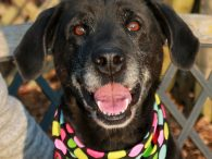 You're going to love Addie! This fabulous girl came into an overcrowded county dog shelter with her 10 month-old pup Allister and both made the trip to Canine Lifeline so they could enjoy life in a foster home while waiting […]