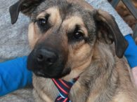 Looking for a sweet, lovable, goofy puppy? That's our Allister, a 10 month-old boy who looks like the perfect mix of Lab and German Shepherd. He found himself homeless at an overcrowded rural county dog shelter with his mom Addie, […]
