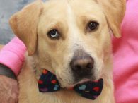 Boomer is a very handsome 2-3 year-old Yellow Lab/Husky mix male with one sparkling blue eye. He was surrendered to a county dog shelter by his owners after they lost their home and had nowhere for Boomer to go. He […]