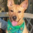 Meet Brandy, a lovely 1 year-old Shepherd/Pittie mix female with a wonderful disposition. This girl was found as a stray and when she wasn't claimed, she made the trip to Canine Lifeline to find herself the perfect new home. You […]