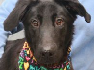 Cagney is a sweet and loving 1 year-old Shepherd/Lab mix neutered male who has it all—great looks and a fabulous disposition! We don't have any history on this boy as he came to us from a county dog shelter but […]