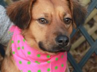 Claire is a shy but very sweet 1 year-old Retriever mix female who's a great size at only about 34 pounds. We don't have any history on this girl as she came to us from a county dog shelter. Claire […]