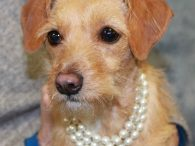Clementine is an adorable 8 month-old Terrier/Doxie mix female who certainly has had a rough time of it in her short life so far. She found herself homeless at a shelter and was adopted from there but returned after her […]