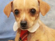Clint is a 3-4 year-old Chihuahua mix male who was found as an underweight stray along with his pal Clyde. Both were taken to the local county dog shelter and when they weren't claimed, they made the trip to Canine […]