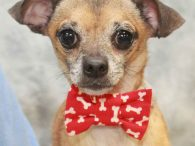 Clyde is a 3-4 year-old Chihuahua mix male who was found as an underweight stray along with his pal Clint. Both were taken to the local county dog shelter and when they weren't claimed, they made the trip to Canine […]