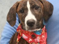 Meet Duke, a loving and affectionate 6 month-old Plott Hound mix pup who's still got some growing to do to fill those big paws. He came into an overcrowded county dog shelter as a stray so we have no history […]