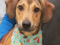 Miller is a very friendly and outgoing 1 year-old Hound mix who looks like he might have a little Doxie or Collie in his family tree. We don't have any history on this sweet boy as he came to us […]