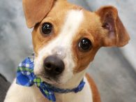 This little gent is Oliver, an 8 month-old Jack Russell Terrier mix male who's extremely well-mannered for a puppy. Somehow he found himself homeless at a county dog shelter and made the trip to Canine Lifeline so he would have […]
