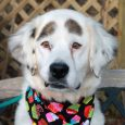 This beautiful dog with the very distinctive markings is Skye, a 3 year-old Setter mix. People who've met her say she looks like Groucho Marx with her big eyebrows! We've never seen a dog with markings quite like Skye—she definitely […]