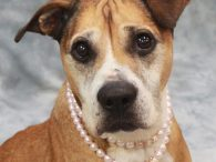 Willow is a beautiful 7 year-old Boxer mix (maybe some Shar-Pei or Bulldog in the mix too?) female who looks like she's had a rough life in the past but she's turned the corner and now has a bright future […]