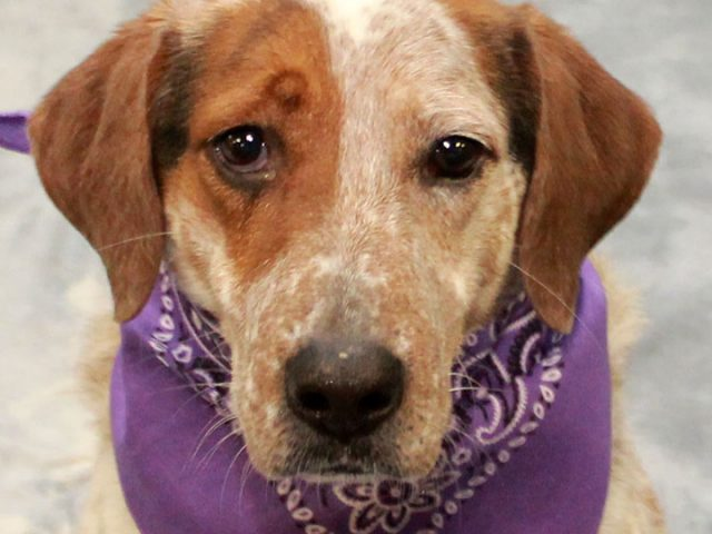 We sure wish AJ could talk and tell us what his life has been like for the last 6 years. This handsome 6 year-old Beagle/Cattledog mix male was homeless at a county dog shelter and was basically shut down, not […]