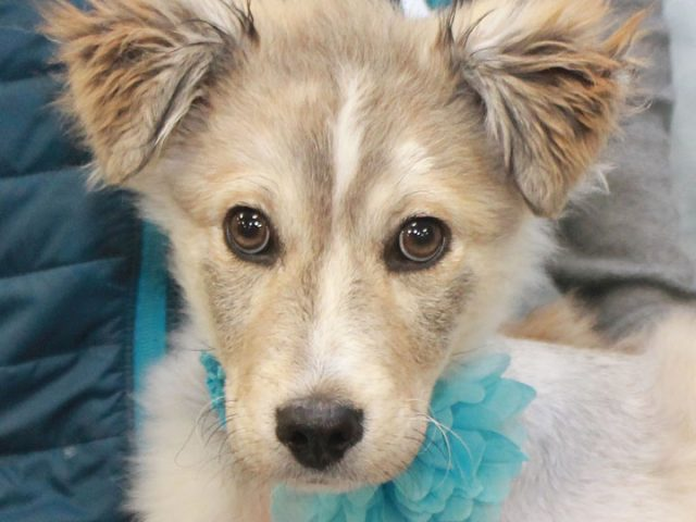 Bailey is an absolutely gorgeous puppy who's had a rough life to date but her luck has now changed and she has a bright future ahead of her. This 4 month-old Husky/Collie mix girl found herself homeless at a rural […]