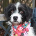 Here's Bingo, a 1 year-old Terrier mix male with big brown eyes who may have a little Bearded Collie in the mix too. We don't know for sure since Bingo came to us as a stray from an overcrowded rural […]