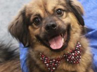 This super-cute little guy is Boots, a 1 year-old who looks to us like a Tibetan Spaniel mix. Without a DNA test, we'll never know for sure because he was abandoned in the parking lot of a county dog shelter […]