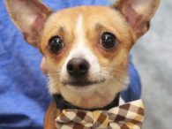 Chihuahua fans, meet Bowie! This cute little 1-2 year-old guy was found as a stray before Christmas and taken to an overcrowded county dog shelter. As with many little dogs, he found shelter life very scary and overwhelming so, when […]