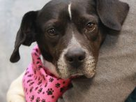 Brie is an adorable 3 year-old Beagle mix female who is as sweet and loving as she is cute. We don't know what other breeds might be in Brie's family tree but this little girl has short legs, a long […]