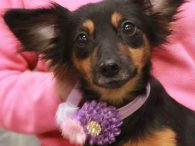 Here's Jojo, a very friendly and outgoing 2 year-old little girl who looks to us like a mix of Papillon (check out those ears!), Doxie, and Chihuahua. She came to us from an overcrowded county dog shelter so we have […]