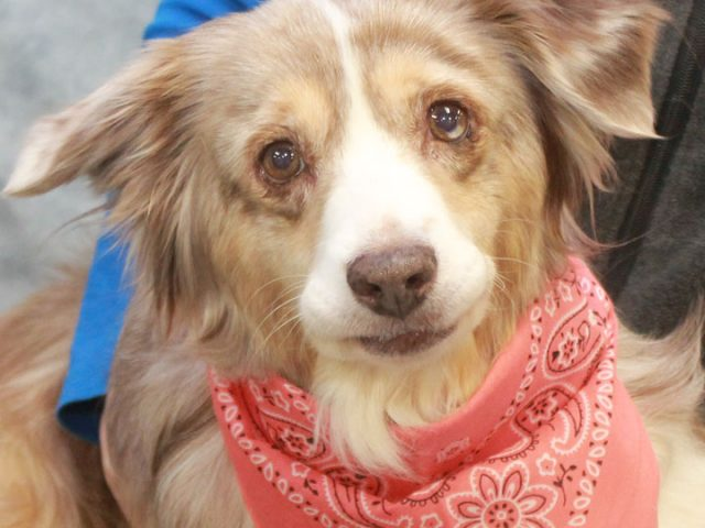 Lacy is a beautiful Aussie mix female with the most kind and gentle disposition who we estimate to be somewhere in the range of 8-10 years-old. She came into an overcrowded county dog shelter with a large mammary tumor (which […]