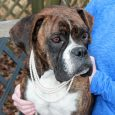 Say hello to Lola, a lovely 5 year-old Boxer, who came to Canine Lifeline to find a new home after she was surrendered to a shelter by her previous family. They were moving and couldn't take Lola along. Normally, […]