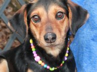 Looking for the perfect dog? You'd better take a look at London! While we can't promise perfection, we think this beautiful 1-2 year-old Beagle mix female comes pretty close. She found herself homeless at a high-kill county dog pound before […]