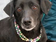 Luna is a very kind and gentle Lab/Beagle mix female who was surrendered to a county dog shelter by her family before Christmas. We don't know what circumstances resulted in her losing her home but her owners did tell the […]