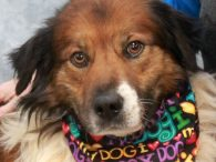 This good-looking guy is Monroe, a 3 year-old Collie mix male who found himself homeless at a rural county dog shelter along with his brother Magic. We don't know whether they were strays or owner surrenders but both made the […]