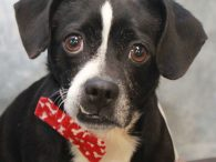 This sweet 4 year-old Boston Terrier/Beagle mix male with the adorable underbite and snaggletooth is really near and dear to our hearts. Sam was surrendered to an overcrowded county dog shelter in early December by his owner who could no […]